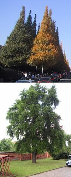 Ginkgo sorfa Tokióban, parkfa Losoncban montázs