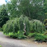 Törpe csüngő nyír, díszkertben kép