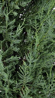 Pyramidalis leyland ciprus lombozata kép