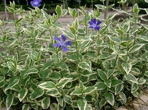 Vinca major 'Variegata' kép
