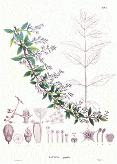 Érdeslevelű gyöngyvirágcserje ábra