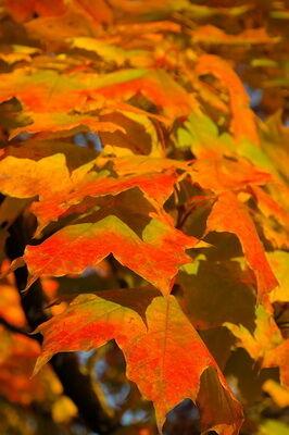 Globosum gömbjuhar őszi levelei kép