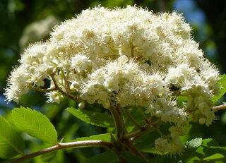 Kőris virágzatkép