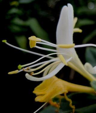Japánlonc nyíló és elnyíló virág kép