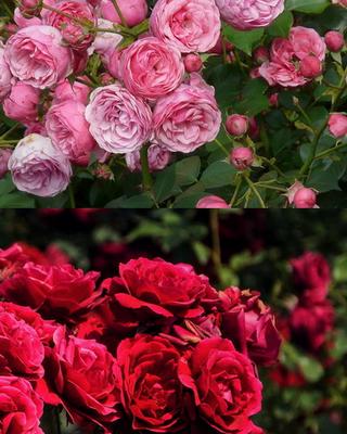 Terülőrózsa virág színei kép